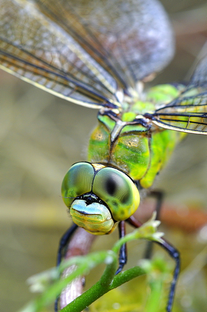 Emepror Dragonfly (Anax imperator) close-up of head and eyes of resting female, Oxfordshire, UK