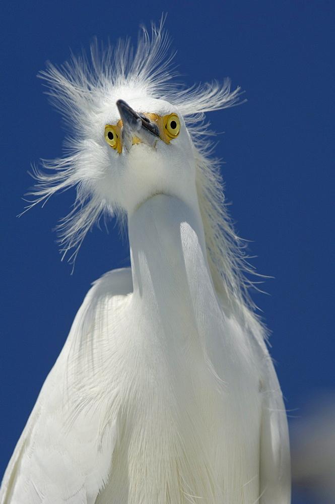 Snowy egret (egretta thula) florida, usa, portrait against blue sky.