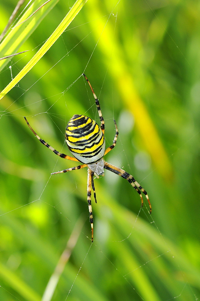 Wasp Spider (Argiope bruennichi) in web amongst grass, Barnes, UK
