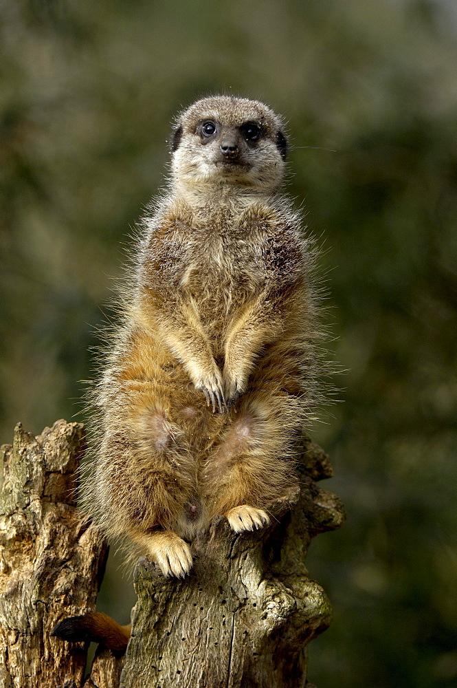 Meerkat (suricata suricatta) native of southern africa (captive bristol zoo)