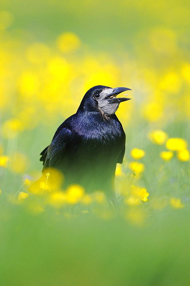 Rook (corvus frugilegus) eating seeds, standing in field of buttercups, oxfordshire, uk