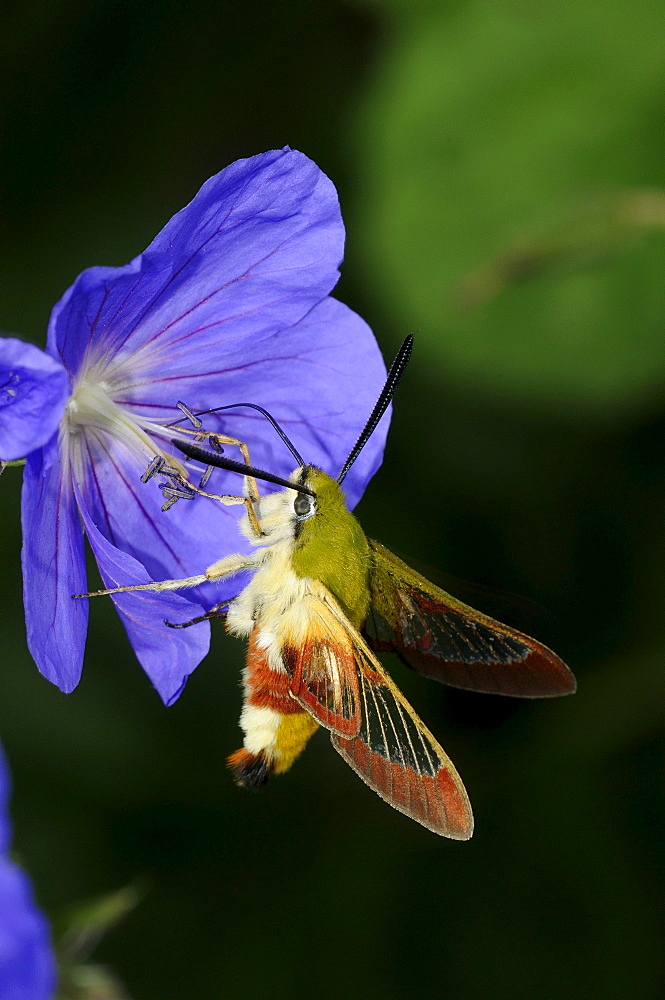 Broad,bordered bee hawkmoth (hemaris fuciformis) feeding on geranium flower, oxfordshire, uk