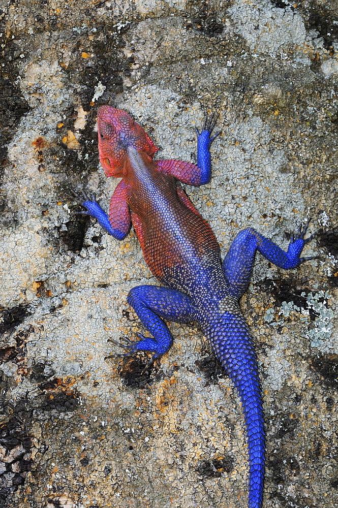 Rock agama (agama agama) male in breeding colour, at rest on tree trunk, masai mara, kenya