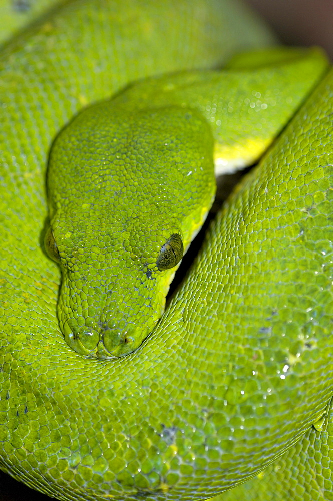 Green tree python (morelia viridis) native of papua new guinea, indonesia and autralia (captive bristol zoo).