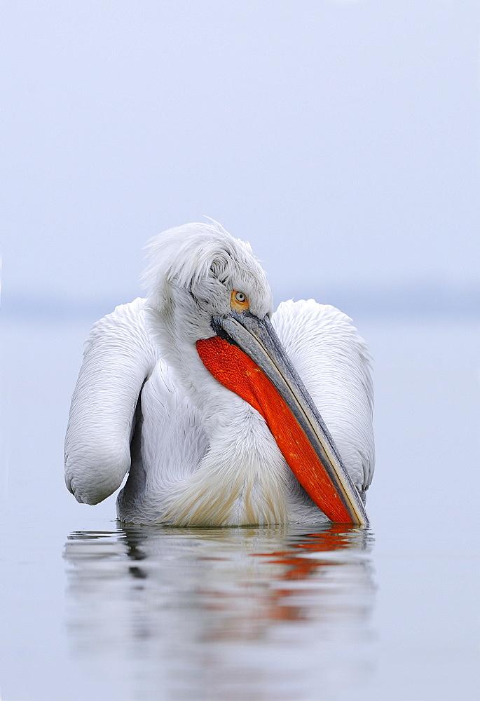 Dalmatian pelican (pelecanus crispus) at rest on water, in breeding plumage, lake kerkini, greece