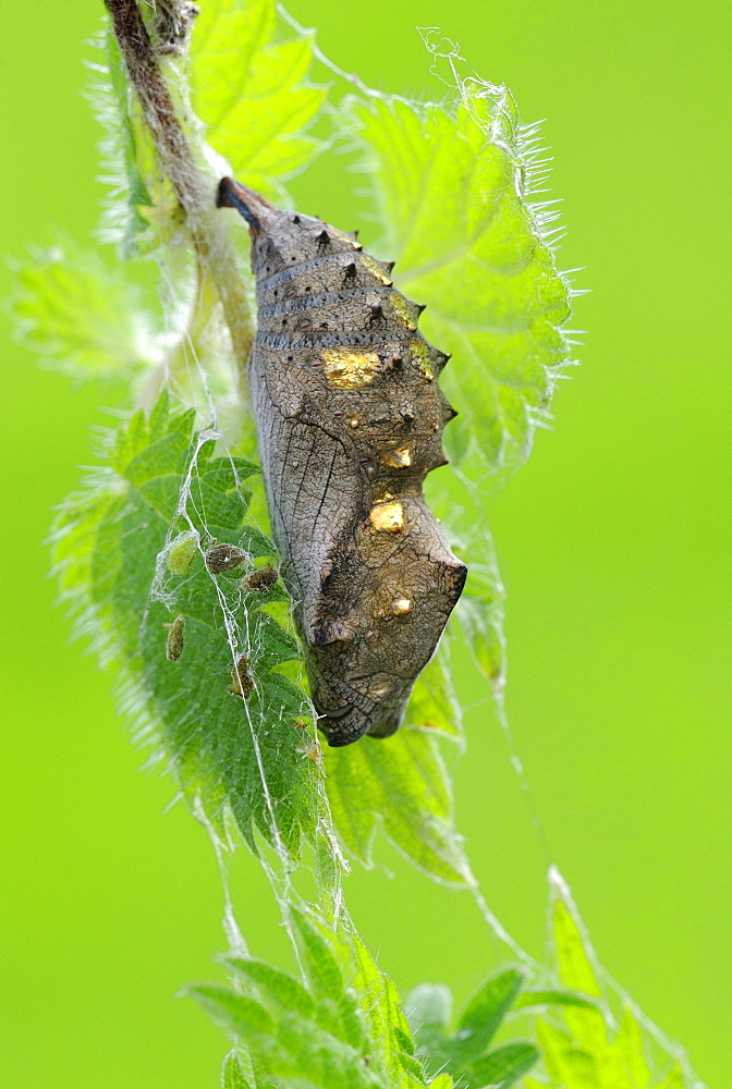 Red admiral (vanessa atalanta) pupa or chrysalis, hanging from stinging nettle plant, oxfordshire, uk