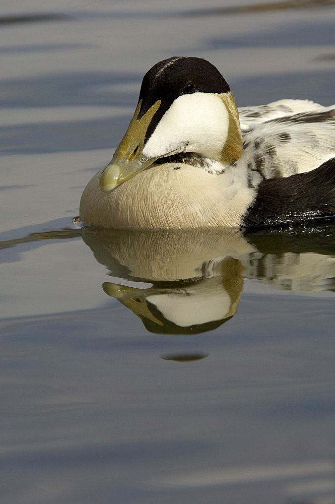 Eider duck (somateria molissima), northumberland, uk, drake close, up in water.