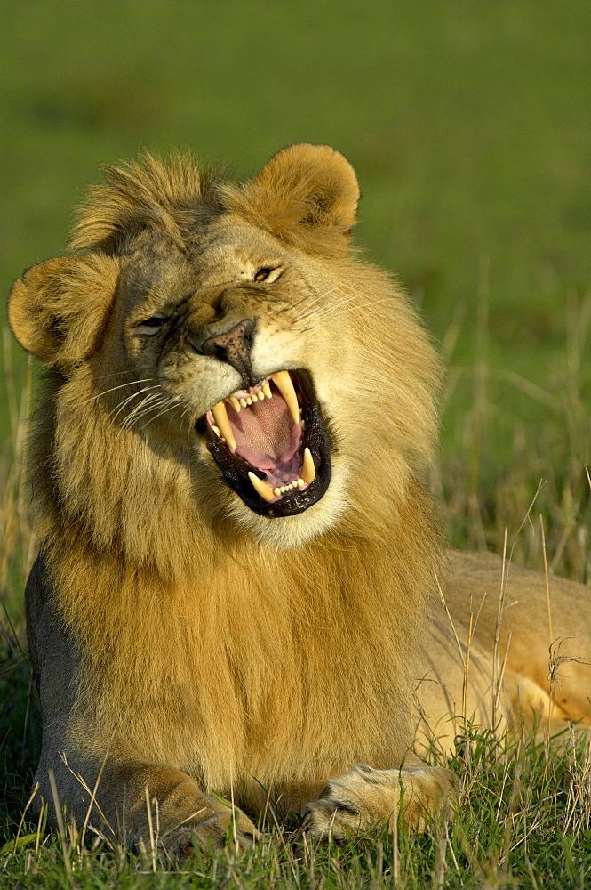 Lion (panthera leo), masaii mara, kenya, male yawning in evening light.