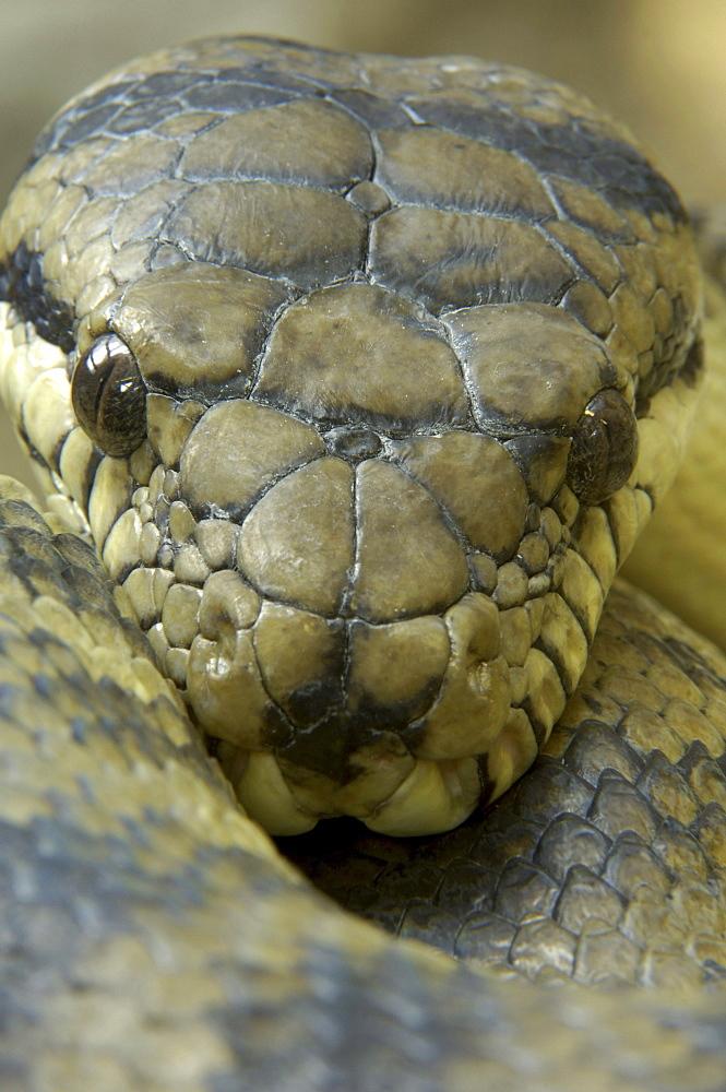 New guinea, amethystine python, (morelia amethystina) captive bristol zoo
