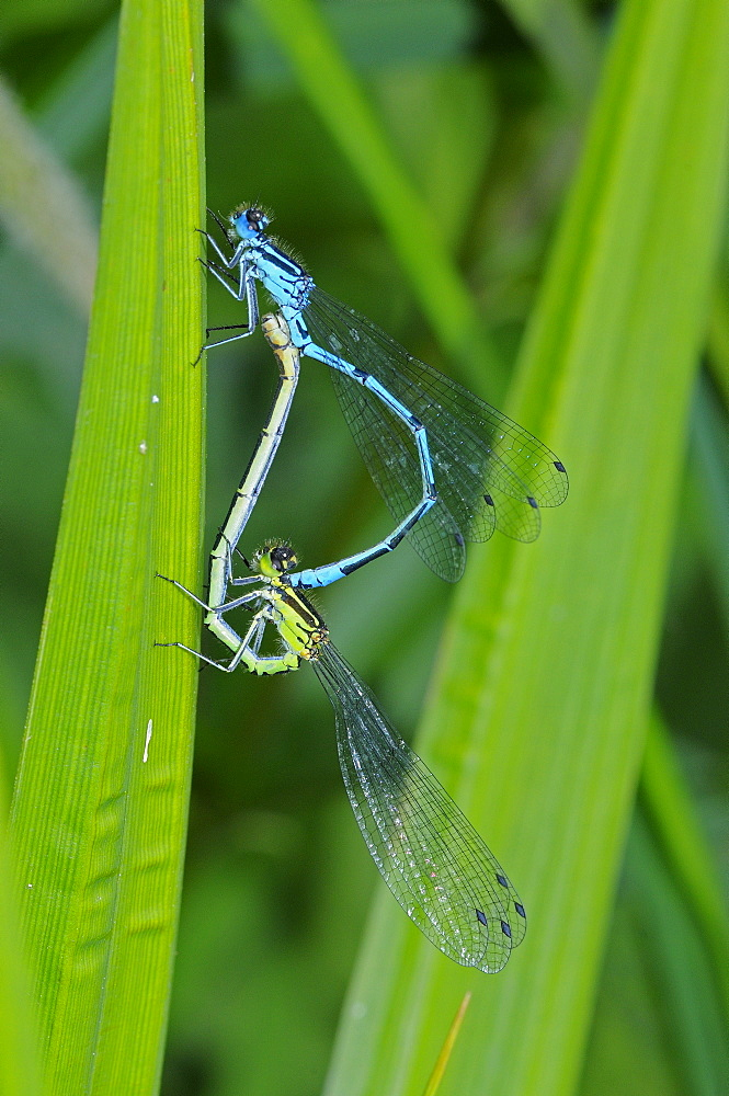 Azure damselfly (coenagrion puella) pair mating, kent, uk