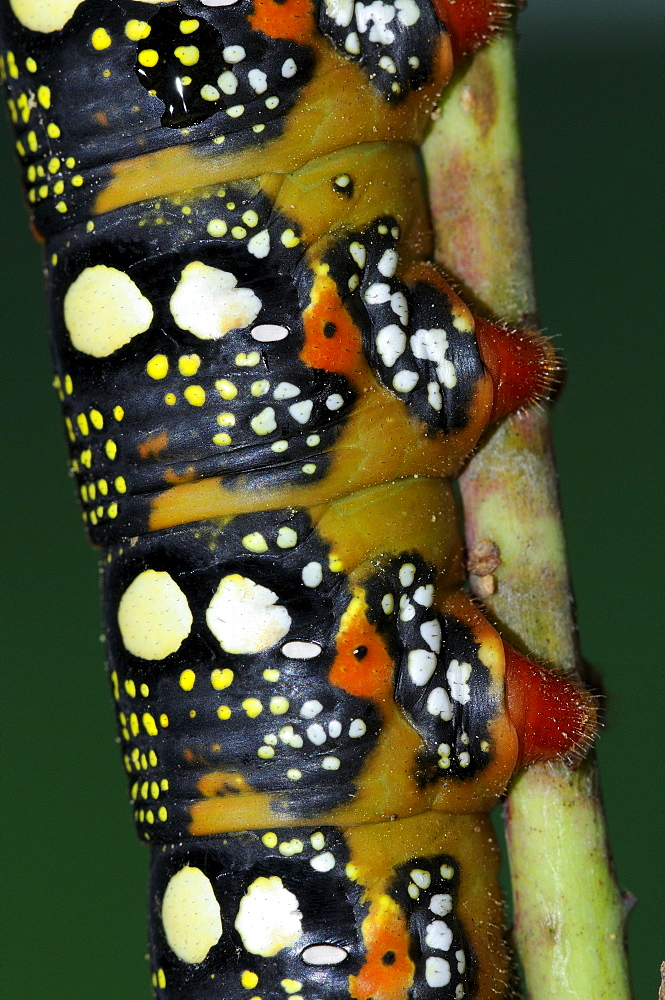 Spurge Hawkmoth (Hyles euphorbiae) close-up of final instar fully grown larva showing pattern and colors