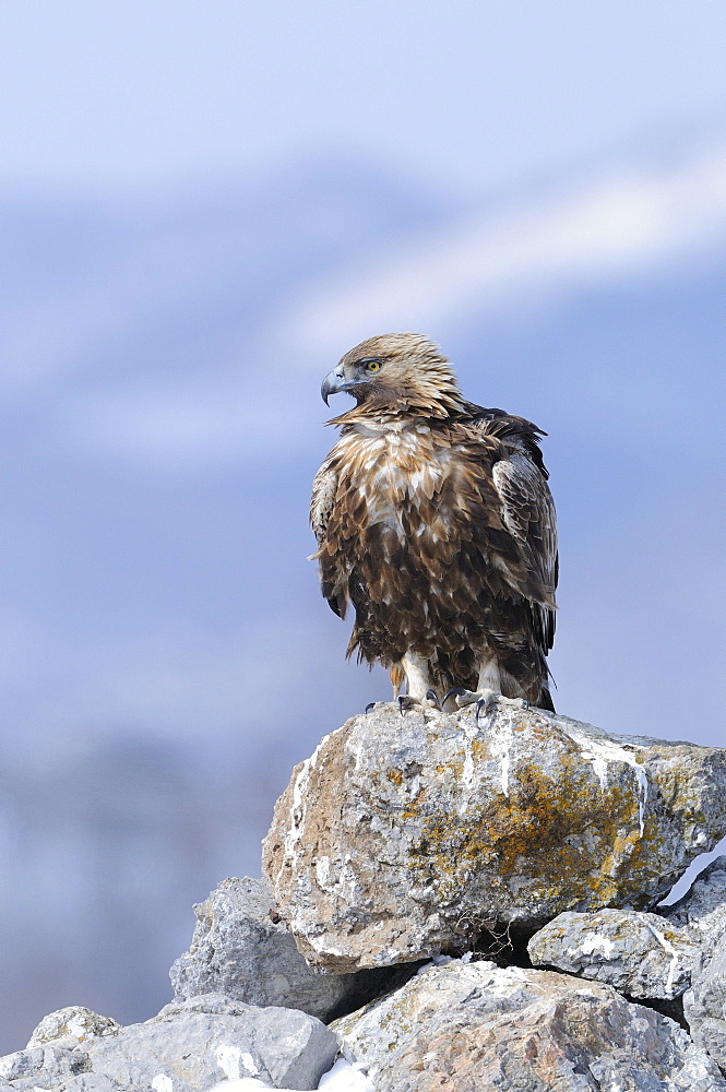 Golden eagle (aquila chrysaetos) perched on rocks in winter, carpathian mountains, bulgaria