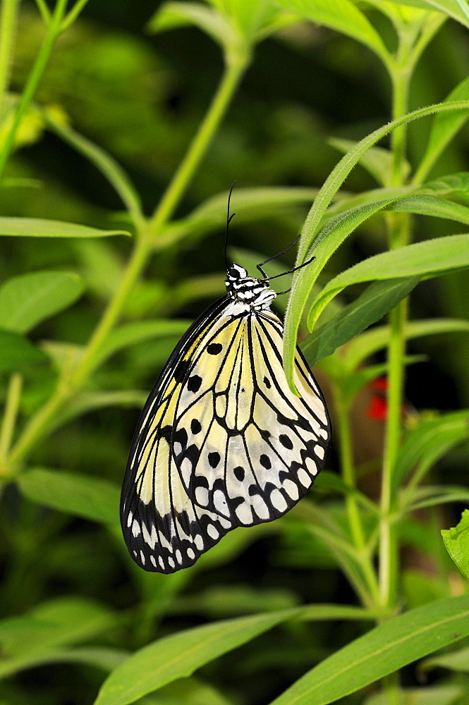 Rice paper butterfly or tree nymph (idea leuconoe) native to south east asia