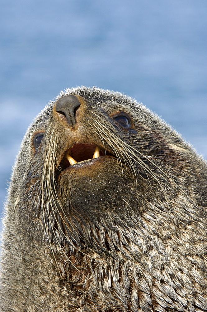 Antarctic fur seal (arctocephalus gazella) fortuna bay, south georgia, portrait of bull seal showing teeth.