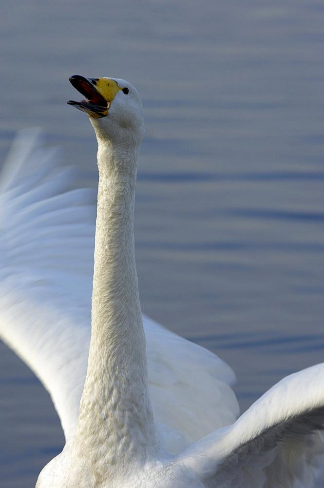Whooper swan (cygnus cygnus) honking, martin mere, uk