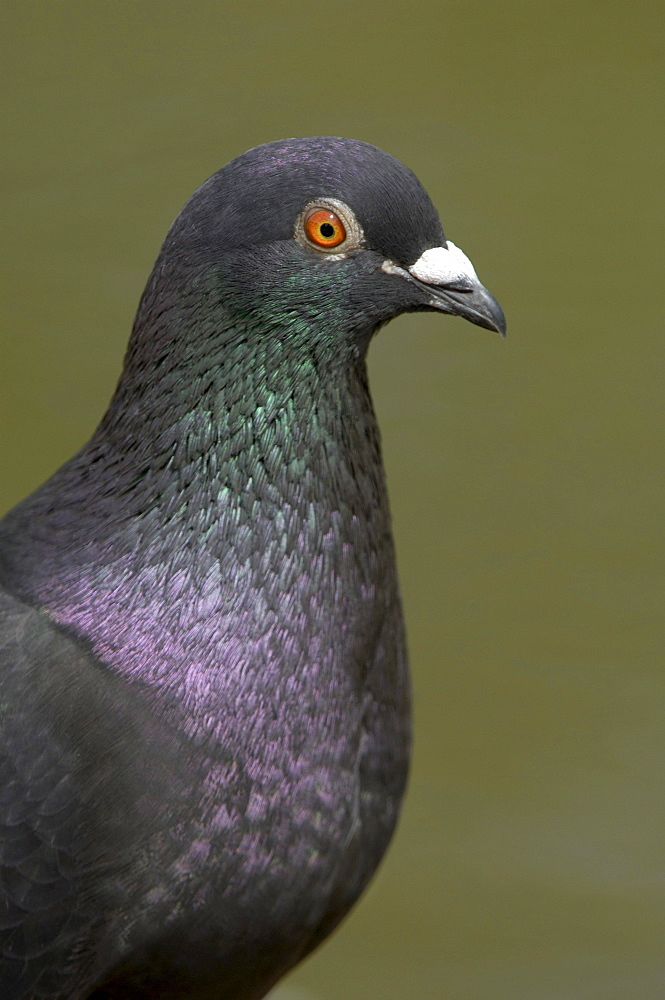 Feral pigeon (columba livia domestica) close, up of head and neck, uk.