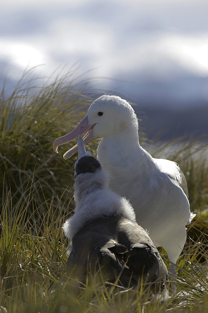 Wandering albatross (diomedea exulans) prion island, south georgia, adult feeding chick