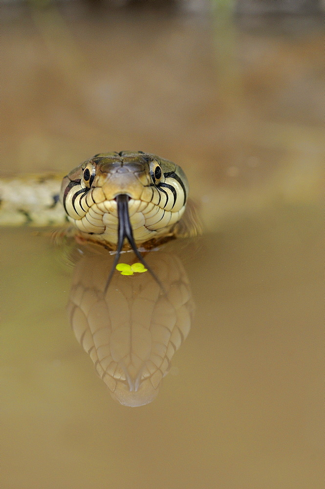 Grass snake (natrix natrix) in water, view from front, tongue out, reflection, oxfordshire, uk