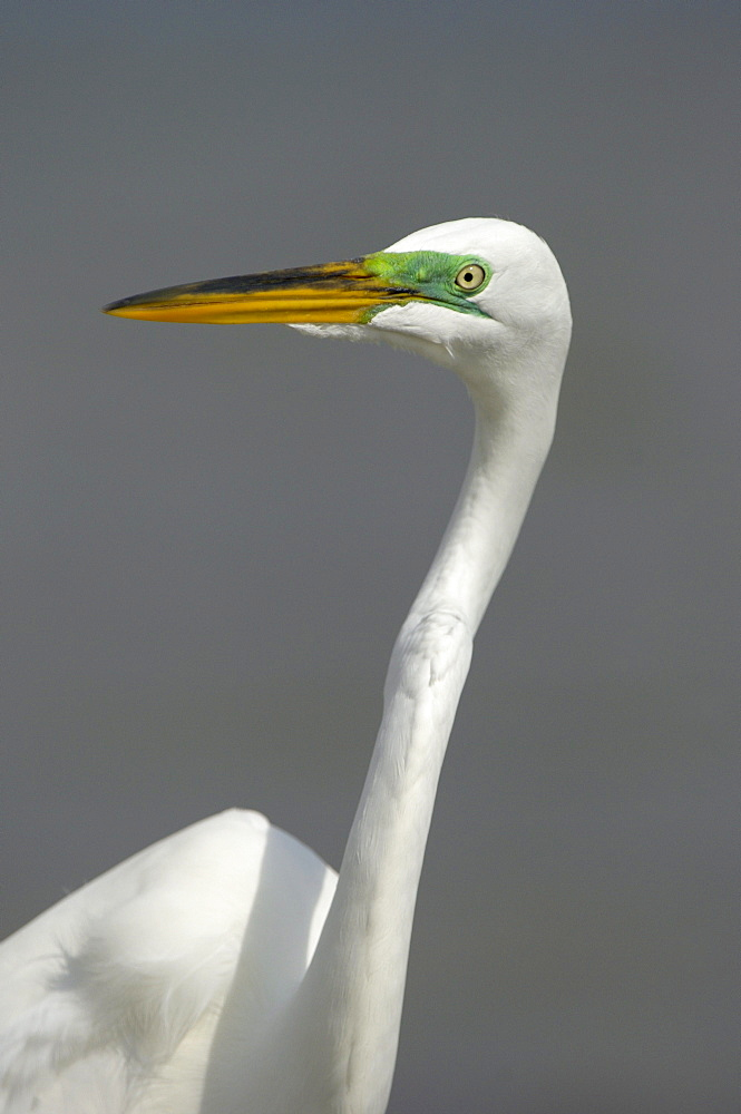 Great white egret (casmerodius alba) florida, usa, adult in colors