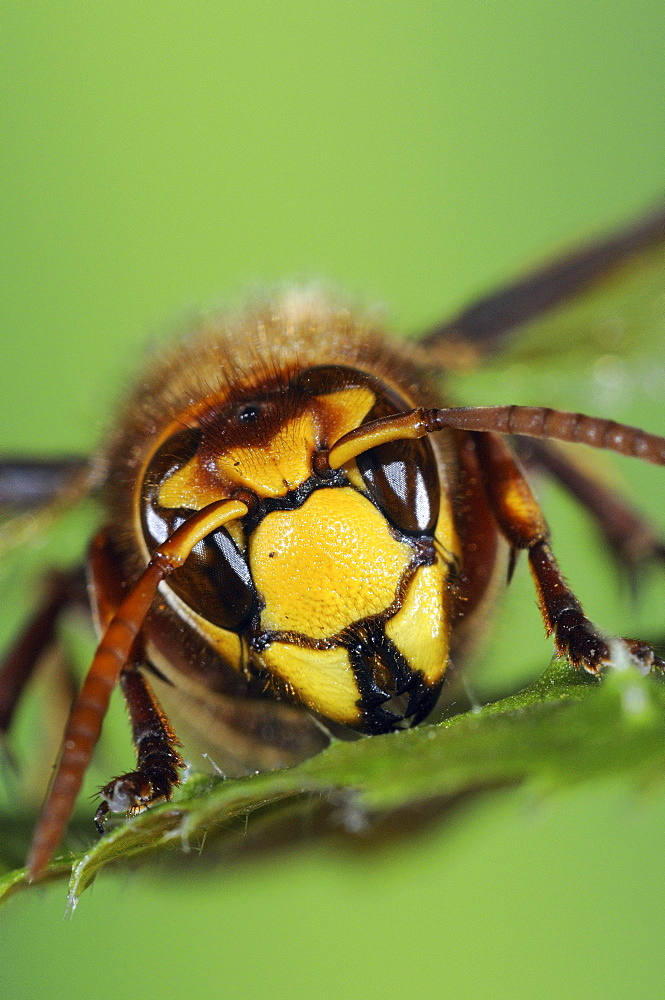 Hornet (vespa crabro) close-up of head, oxfordshire, uk