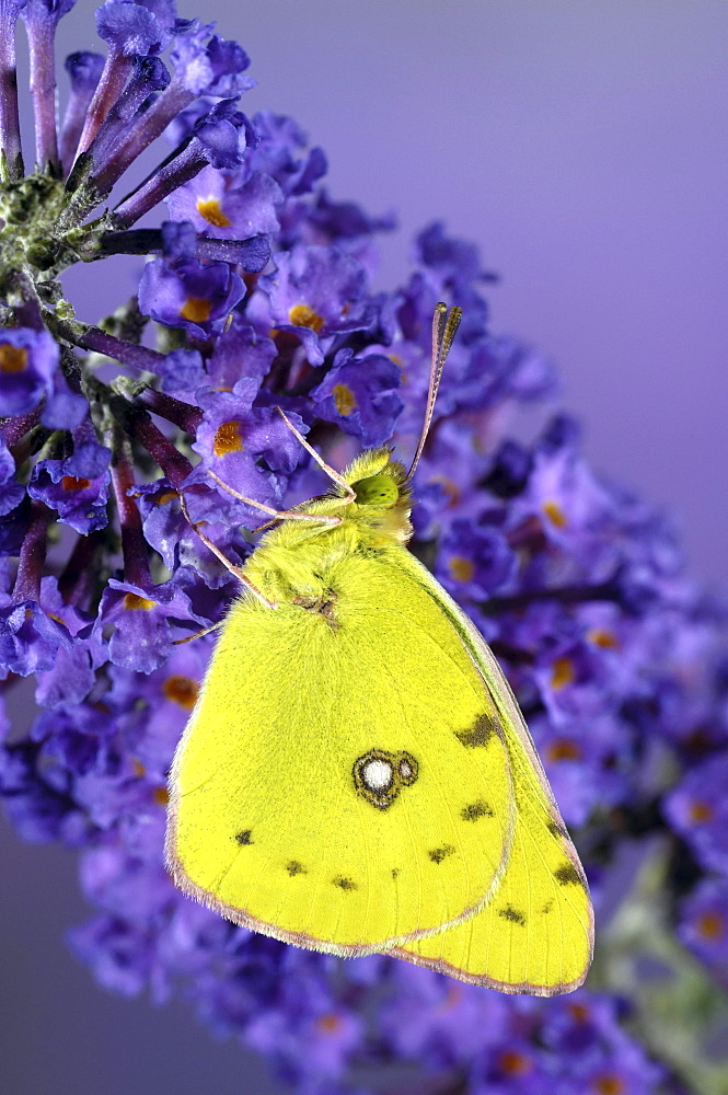 Clouded yellow butterfly (colias croceus) perched on buddleia flower