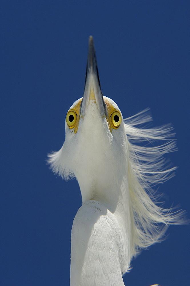 Snowy egret (egretta thula) florida, usa, portrait.