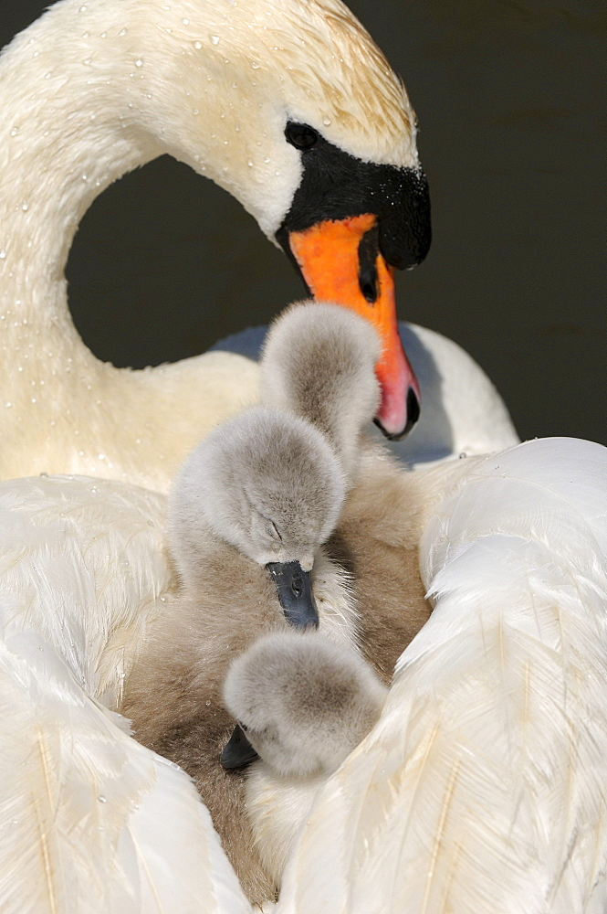 Mute swan (cygnus olor) cygnets on mothers back, abbotsbury, uk