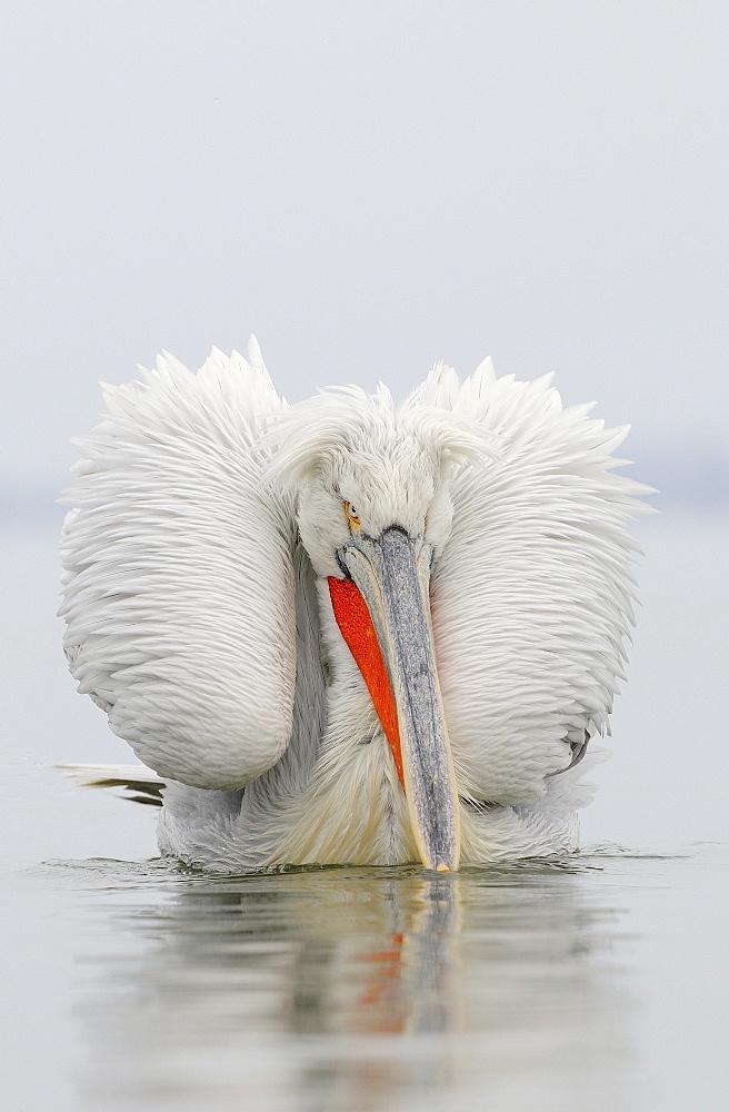 Dalmatian pelican (pelecanus crispus) adult in breeding plumage on water, lake kerkini, greece