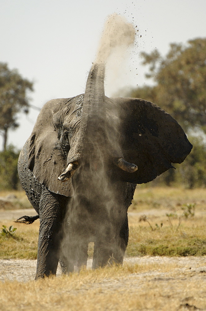 African elephant. Loxodonta africana. Throwing dust on to back. Savuti, botswana
