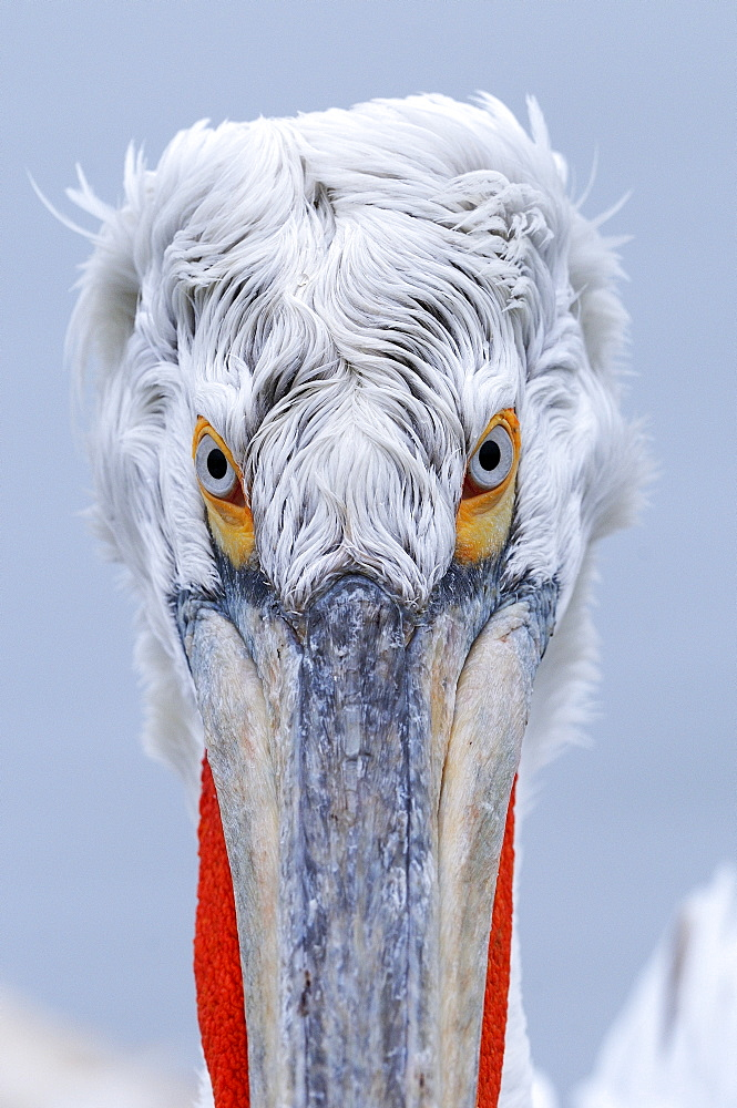 Dalmatian pelican (pelecanus crispus) portrait of adult in breeding plumage, lake kerkini, greece