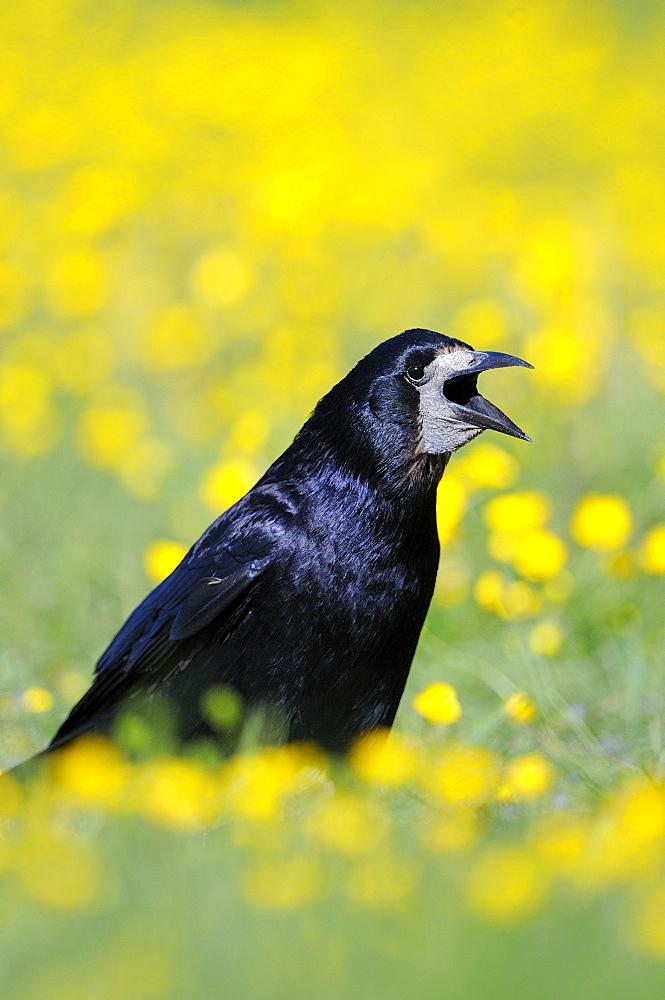 Rook (corvus frugilegus) standing in field of buttercups, calling, oxfordshire, uk