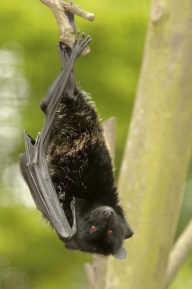 Livingstones fruit bat (pteropus livingstonii) native of the comoro islands (captive bristol zoo)