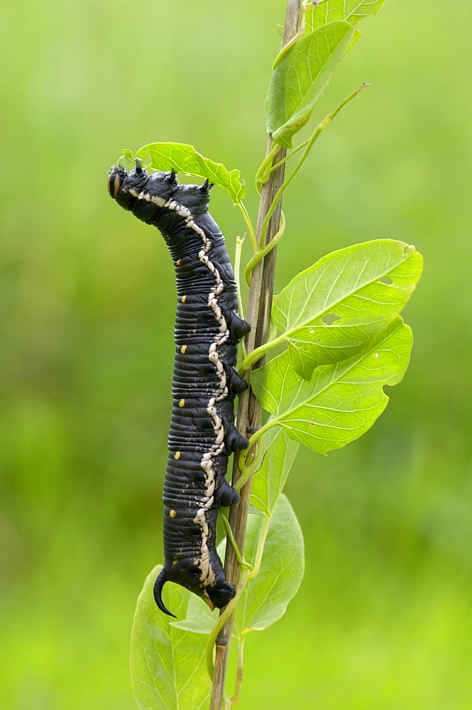 Convolvulus hawkmoth (herse convolvuli) caterpillar or larva feeding on lesser