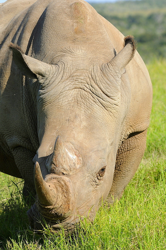 White rhinoceros (ceratotherium simum) close-up of head, eating grass, eastern cape, south africa