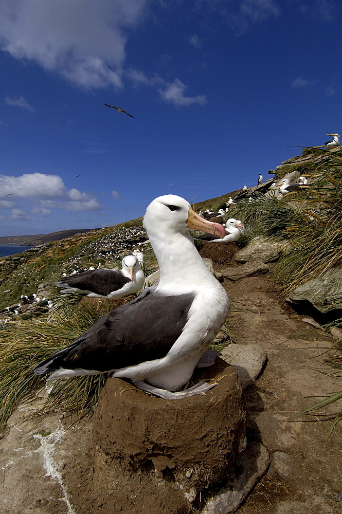 Black-browed albatross (diomedea melanophoris) falkland islands, sat on nest. view of colony behind.