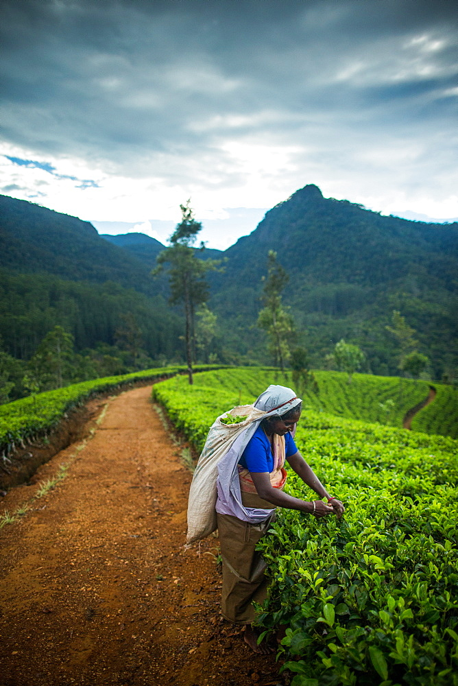 Tea picker, Haputale, Sri Lanka, Asia