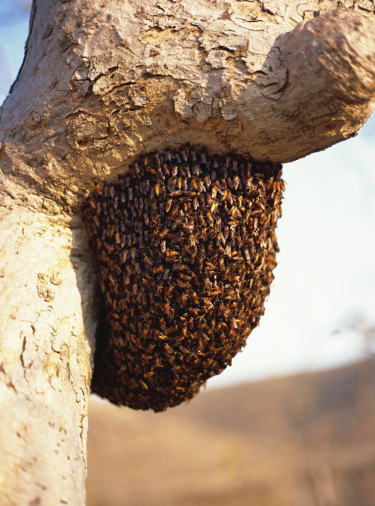 Swarm of wild bees hanging from a tree, Maharashtra, India, Asia - 120-3043
