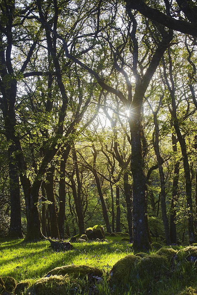 Ancient oak woodland in the Dart Valley, near Dartmeet, Dartmoor National Park, Devon, England, United Kingdom, Europe