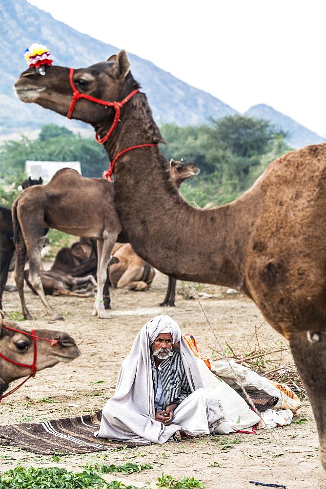 Camel herder early in the morning at the Pushkar Camel fair, Pushkar, Rajasthan, India, Asia,