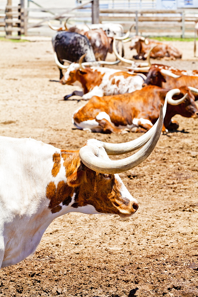 Cattle in Fort Worth Stockyards, Texas, United States of America, North America - 1207-85