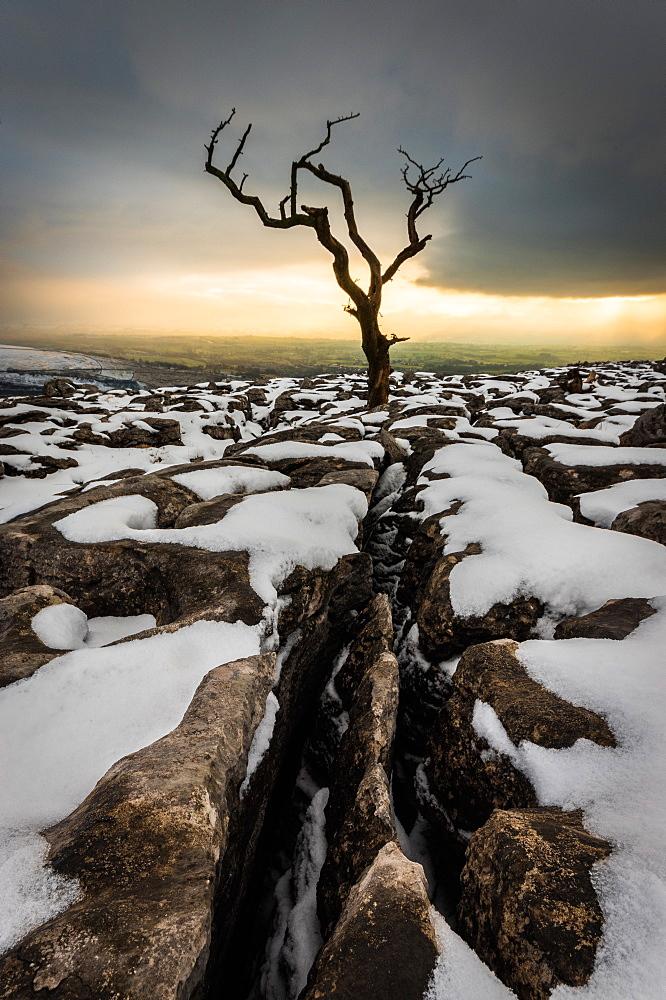 Tree in the snow, Twistleton Scar End, Ingleton, Yorkshire, England, United Kingdom, Europe - 1209-6
