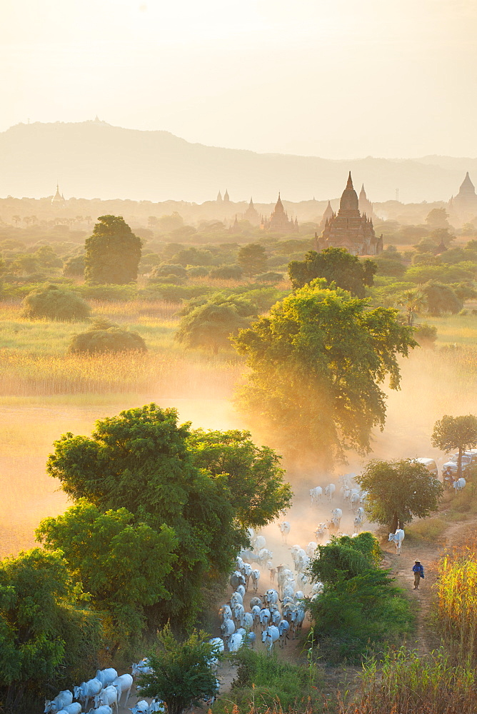 Farmers herding cattle in the ancient city of Bagan where more than 2200 ancient temples remain of the original 10000, Bagan (Pagan), Myanmar (Burma), Asia - 1212-448