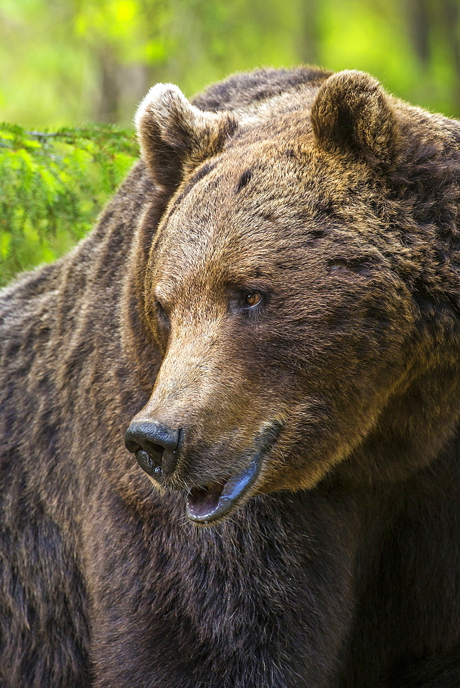 Portrait of a brown bear (Ursus arctos), Finland, Scandinavia, Europe
