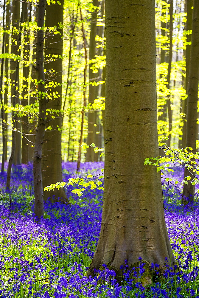 Bluebell flowers (Hyacinthoides non-scripta) carpet hardwood beech forest in early spring, Halle, Vlaanderen (Flanders), Belgium, Europe - 1217-278