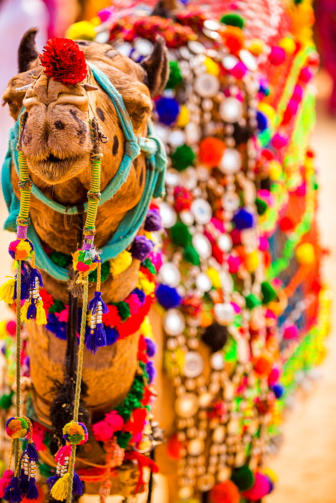 Camel at the Pushkar Camel Fair, Pushkar, Rajasthan, India, Asia - 1218-147