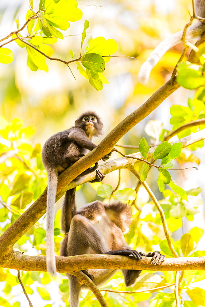 Monkeys in Krabi, Thailand, Southeast Asia, Asia