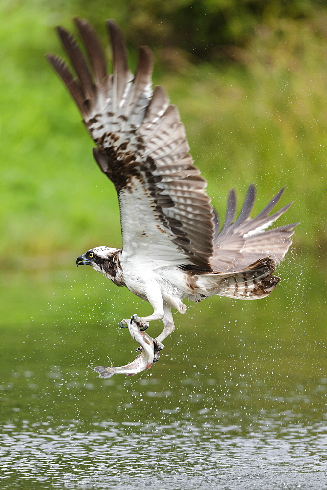 Osprey (Pandion haliaetus) flying above a pond after a successful fishing trip with a fish grasped in its talons, Pirkanmaa, Finland, Scandinavia, Europe