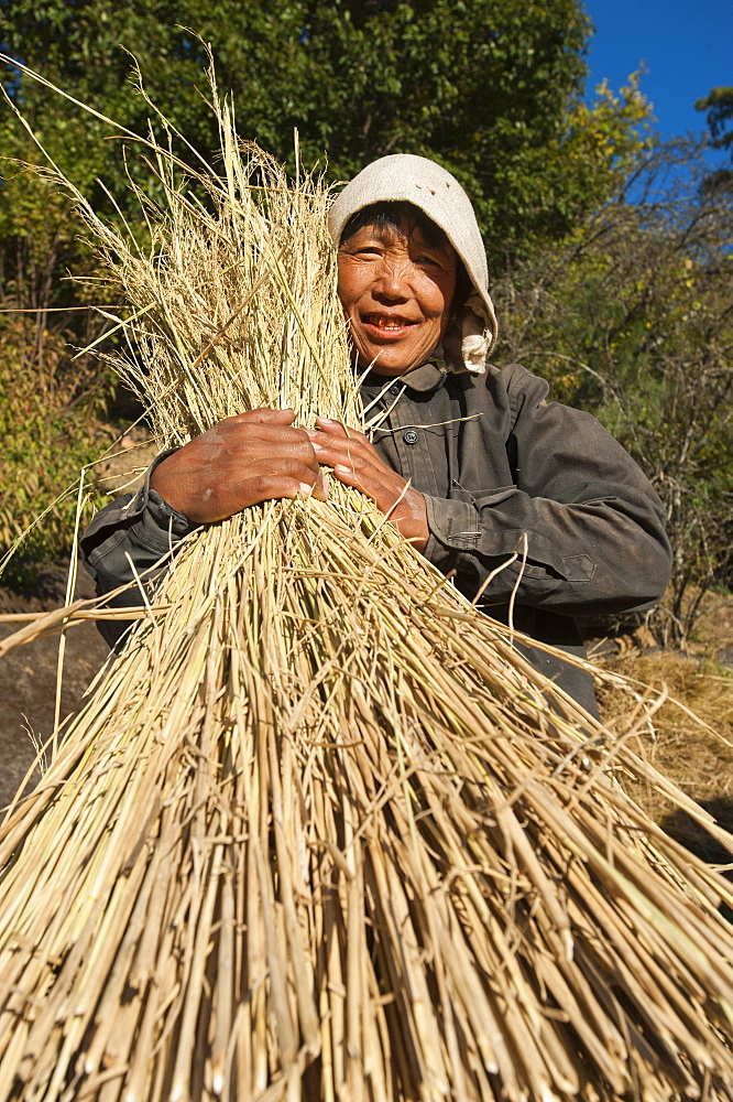 A Bhutanese woman holds up a bundle of freshly harvested rice in Bhutan