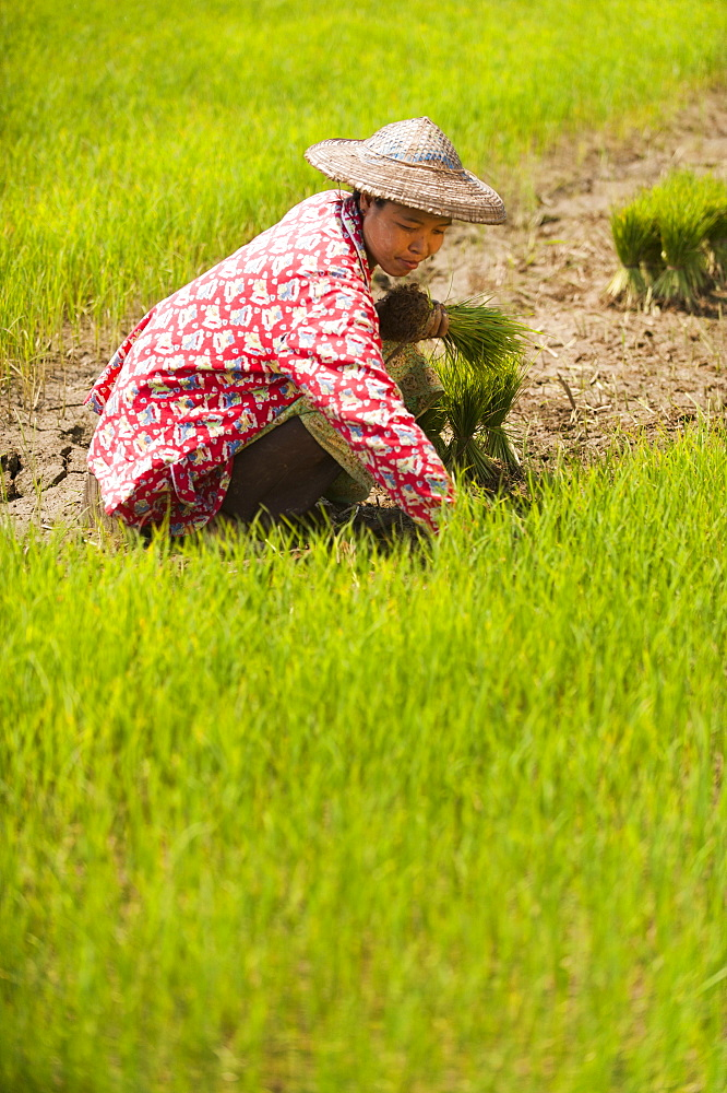 A woman harvests young rice into bundles for replanting, Kachin State, Myanmar (Burma), Asia - 1225-1153