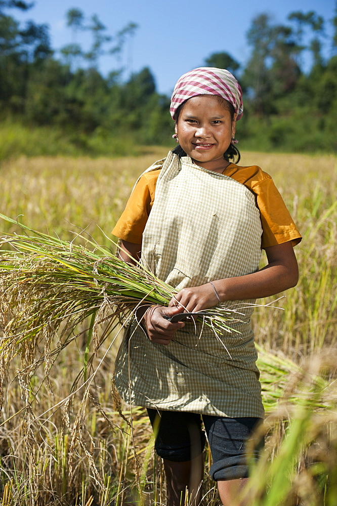A girl harvests rice in the East Khasi hills of Meghalaya in north east India, India, Asia